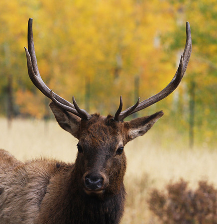 Young male elk.   Rocky Mountain Nation Park.