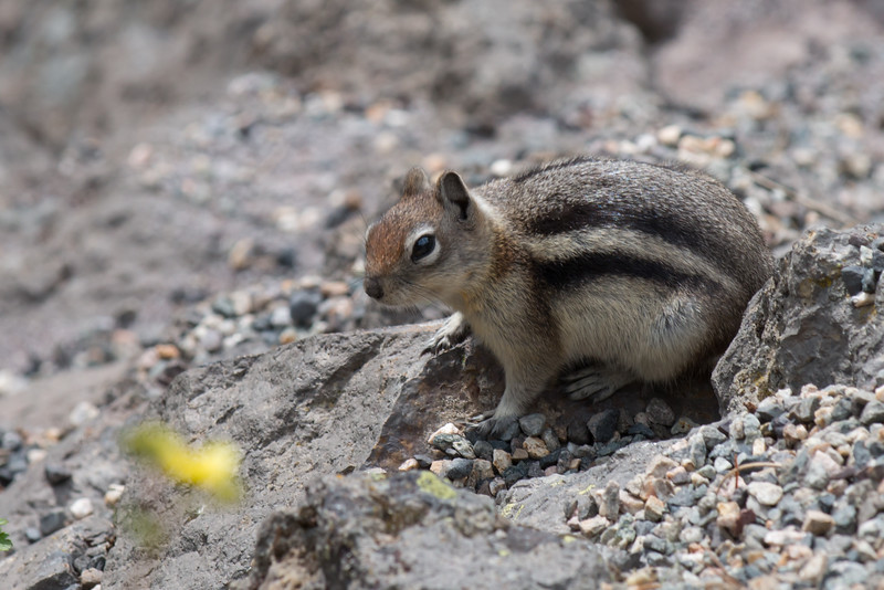 Chippy at Yellowstone