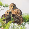 barred owl family<br /> Everglades National Park
