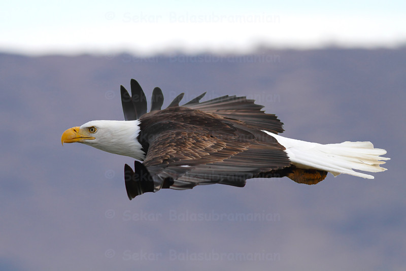 An American Bald eagle gliding at eye level. Photo taken at Klamath Basin in California.