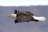 An American Bald eagle gliding at eye level. Photo taken at Klamath Basin in California.