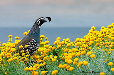 """""""Sea Ranch Sentinel""""  A male California Quail on guard atop the yellow flowers  while watching over his brood below."""
