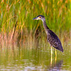 Yellow-Crowned Night Heron, Navarre, Florida