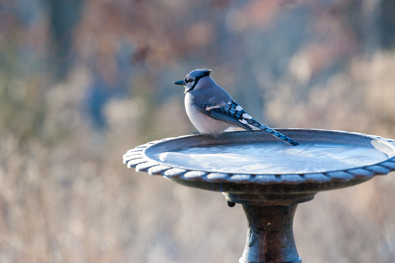 Frosty Morning Bluejay