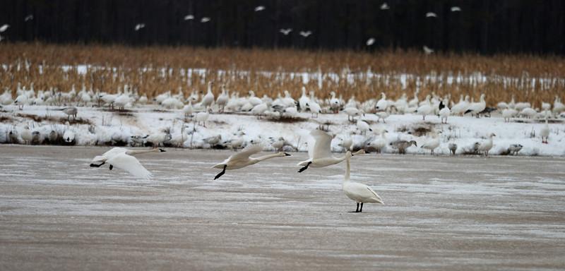 Swans taking flight.