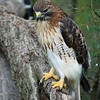 Red-shouldered Hawk - Homosassa Springs Wildlife State Park