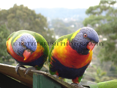 Rainbow Lorikeet in Terrigal, Australia.