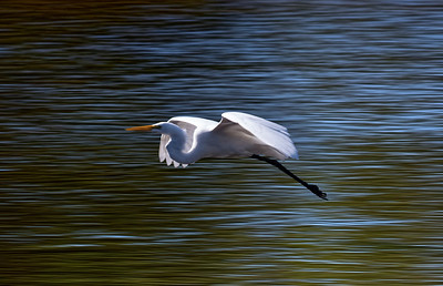 Egret Flight