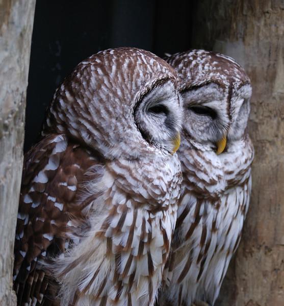 Barred Owls - Homosassa Springs Wildlife State Park