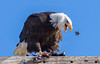This was taken at the Klamath Basin in California. A bald eagle is feeding on an American coot.