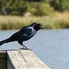 Blackbird - Corolla, NC