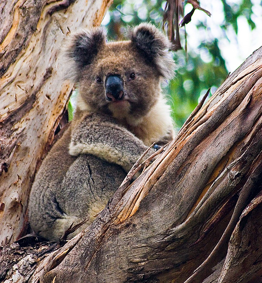 Koala found near the Great Ocean Highway.  Canon 20D  Lens 100 - 300 mm (borrowed)