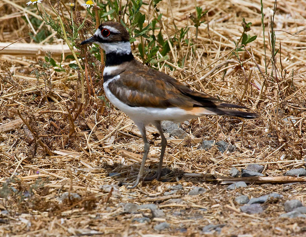 Kildeer that I found while exploring the Yolo Bypass in June 2009