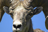 Bighorn sheep up close and personal
