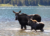 Moose and Calf at Swiftcurrent lake in Glacier National Park, Montana