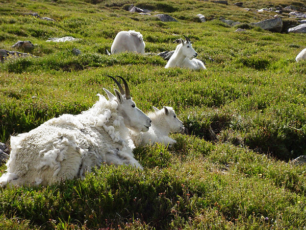 Rocky Mountain Goats on Mount Evans