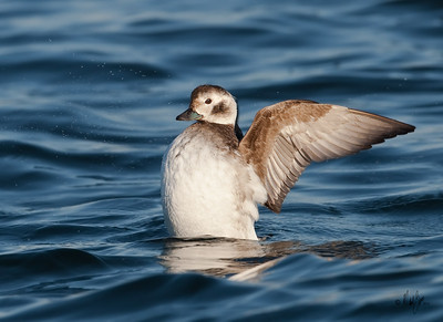 Long-tailed Duck, hen