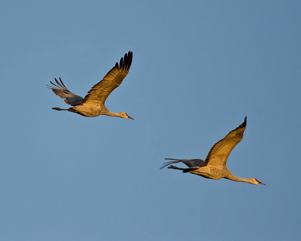 Sandhill cranes south of Sacramento, Thanksgiving 2007.  Canon 20D  100 - 400mm L series lens @ 400mm f5.6