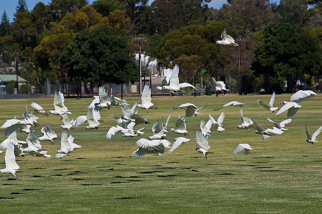 A flock of Mitchell cockies take flight near our campsite on the Murray River in South Australia.