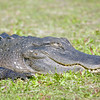 Gator, Everglades National Park, South Florida