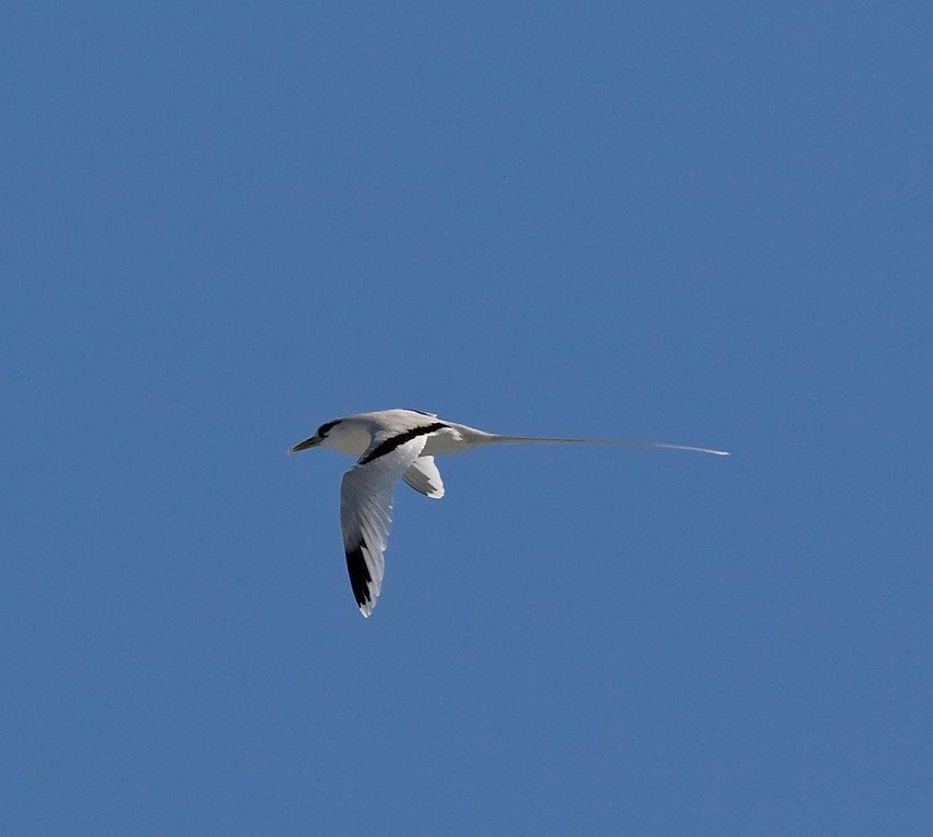 White Tailed Tropicbird.  This was shot about 8 miles beyond the town of Hana Maui.  There were some cliffs that these birds use for nesting.  January 2007.