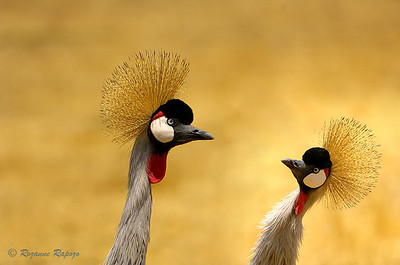 """""""Crowned Cranes Craning""""  It is easy to figure out why these birds are called """"African Crowned Cranes"""".  Their """"crowns"""" are truly regal."""