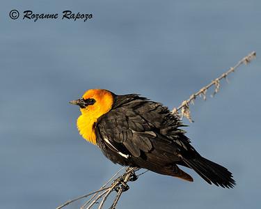 """Good Morning, World""  A yellow-headed blackbird enjoyed the morning sun at the Lower Klamath Basin Refuge"
