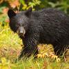 Black Bear cub<br /> Jasper National Park<br /> Alberta, Canada