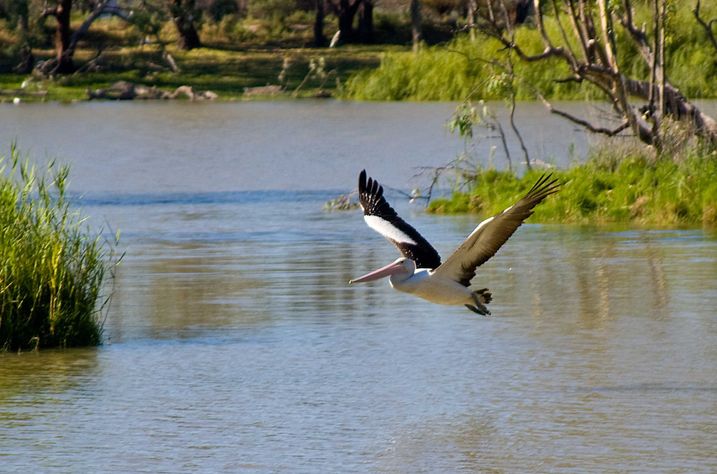 Australian Pelican on the Murry River in South Australia, January 2006.