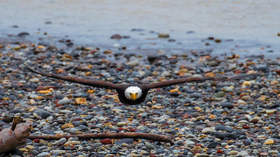 Straight Ahead Bald Eagle