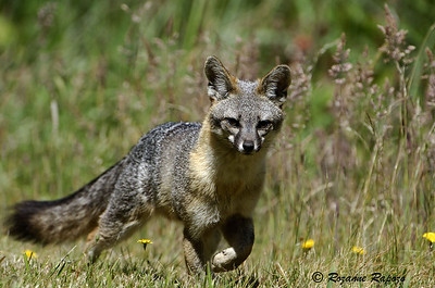 """""""Foxy Lady""""  This mother fox was stalking me while protecting her young.  I got off one picture before I slowly moved away from her family."""