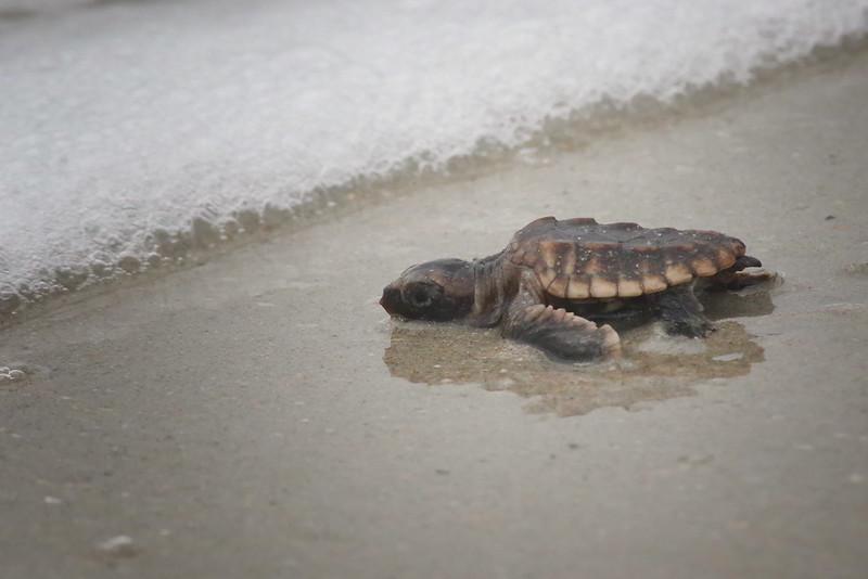 Loggerhead turtle hatchling<br /> Melbourne Beach, FL