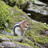 Chipmunk on Johnston Canyon Trail