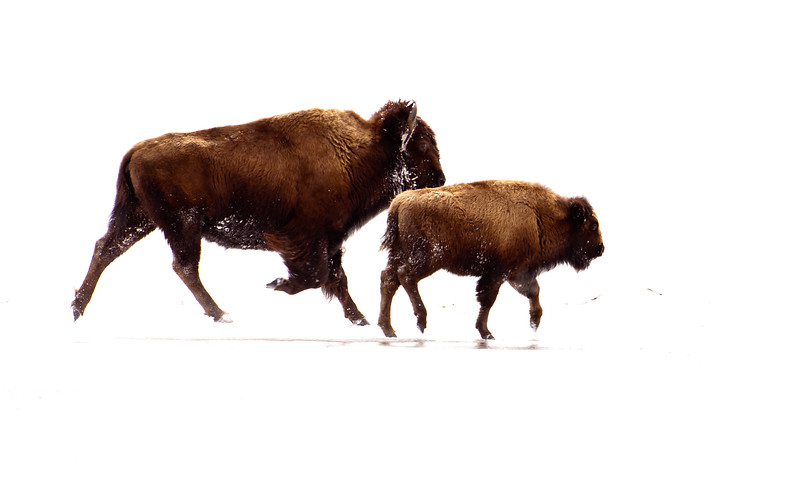 Winter Bison Running
