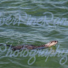 One of three River Otters in Yellowstone Lake.<br /> Aug 3, 2016