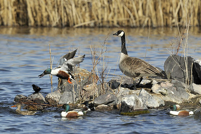 """""""Goose Foursome on the Tee""""  Canada Goose, Shovelers, Blackbird and Mallards sharing an island."""