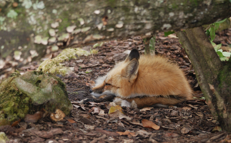 Fox - Homosassa Springs Wildlife State Park