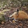 Fox - Homosassa Springs Wildlife State Park