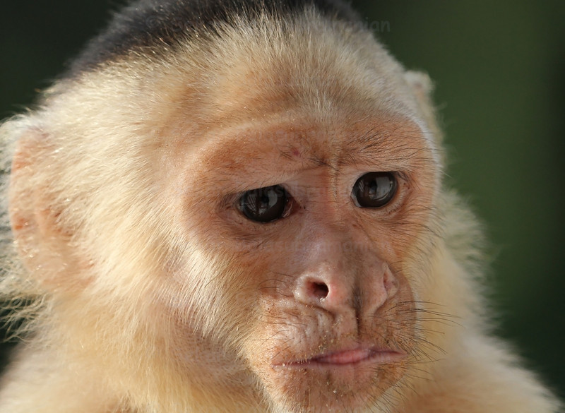 Close-up of a thinking white-faced Capuchin monkey in deep thought at Costa Rica