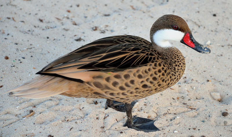 White-Cheeked Pintail Duck