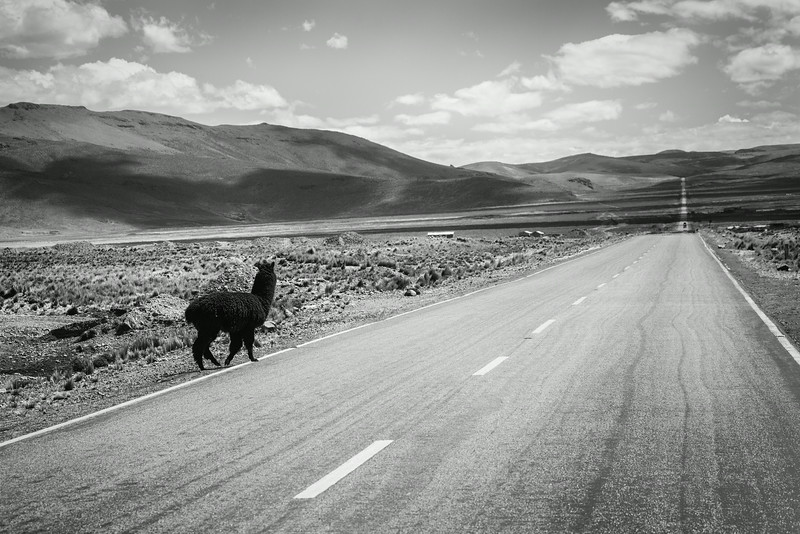 Why did the llama cross the road? You'll have to ask the llama... I don't speak llama.
