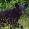 Black Bear<br /> Kouchibouguac National Park<br /> New Brunswick, Canada