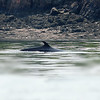 Minke Whale<br /> St. Andrews, NB Canada