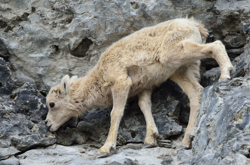 Baby Big Horn Sheep licking the mineral/salt deposits.
