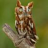 Red Screech Owl