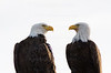 A pair of bald eagles at the Klamath basin looking for prey.