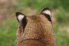 Bob Cat ears.