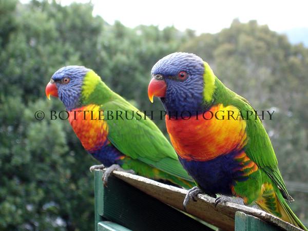 Rainbow Lorikeet in Terrigal, Australia.