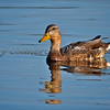 Mallard (Hen) are the predecessors of all domestic ducks. They have been domesticated in southeast asia for over 2000 years and in Europe since at least the 12th century.