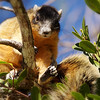 Big Cypress Fox Squirrel<br /> Big Cypress National Preserve<br /> Ochopee, Florida